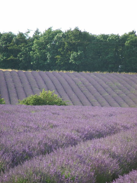 Snowshill lavender